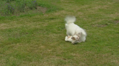 Coton de Tulear, playful pup & adult on lawn Stock Footage