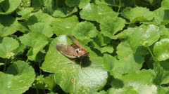 Stock Video Footage of cicada perched on leaf