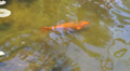 Koi Fish in Florida Gardens Footage