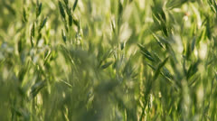 Wheat stalks in the wind Stock Footage