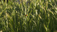 Ladybug among the wheat stalks Stock Footage