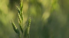 Single wheat stalk Stock Footage