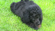 Poodle pup chewing on toy Stock Footage