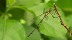 Amber-winged Spreadwing (Lestes eurinus) - Male 1 Stock Footage