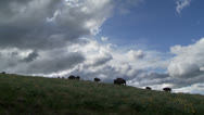Bison, Buffalo Stock Footage