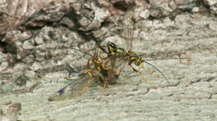 Giant Ichneumon (Megarhyssa macrurus) wasps compete to inseminate a female 1 Stock Footage