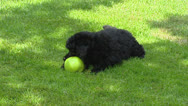 Poodle pup chewing on appel + 2nd pup comes playing Stock Footage