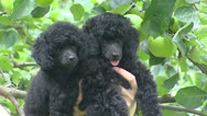 Pair of Poodle pups Stock Footage