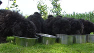 Row of Poodle pups eating from bowl - close up Stock Footage