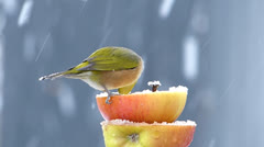 Silvereye on double decker apple in the snow - stock footage