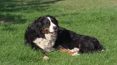 Bernese Mountain Dog nursing pups on lawn + walks off Stock Footage