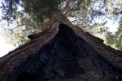 Stock Photo of Giant Sequoia