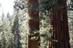 Two sequoias - partial tree shoot Stock Photos