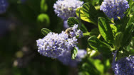 Bee harvests pollen from tiny flowers Stock Footage