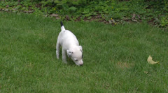 Parson Jack Russell Terrier pups playing on lawn Stock Footage