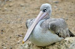 Pink-backed Pelican seating on rock - stock photo