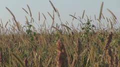 Agriculture.Confield quinoa.Organic quinoa crops. Stock Footage