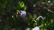 Fat bumblebee pollinates flowers Stock Footage