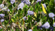 Flying insect on cluster of flowers Stock Footage