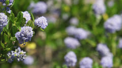 Flower clusters background - stock footage