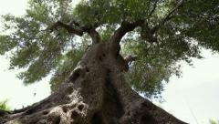 Giant olive tree Stock Footage