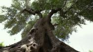 Stock Video Footage of Giant olive tree