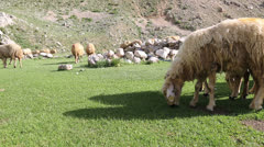 Sheep on a meadow 3 Stock Footage