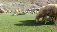 Stock Video Footage of sheep on a meadow 3