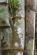 stems bamboo tree in white mildew - stock photo