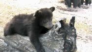 Stock Video Footage of Bear Cub on Stump