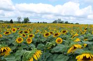Stock Photo of field of sunflowers