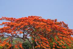 Pride of barbados, peacock's crest ( caesalpinia pulcherrima sw .) Stock Photos