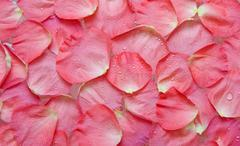 dripped water on petal of the roses - stock photo