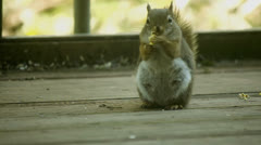 Gray squirrel eats 2 Stock Footage