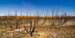 charred remains of desert shrubs after a wildfire in utah - stock photo