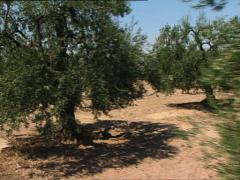 PUGLIA Apulia olive groves and vineyards camera car - stock footage