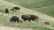 Stock Video Footage of Bison, Buffalo