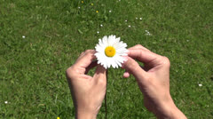 defoliating daisy 60 - stock footage