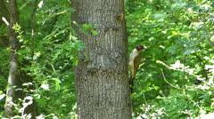 Yaffil (Picus viridis) 2 Stock Footage