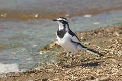 An African Pied Wagtail (Bird) Sitting at the Waterline - stock photo