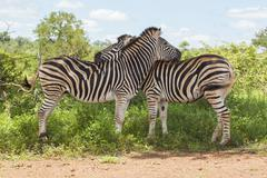 Two Zebras Hugging - stock photo