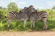 Stock Photo of Two Zebras Hugging