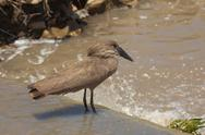 Stock Photo of A Hammerkop (Bird) in South Africa's Kruger National Park