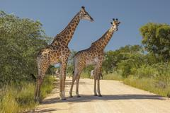 Giraffes and Zebras Standing in a South African Road Stock Photos