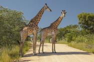 Stock Photo of Giraffes and Zebras Standing in a South African Road