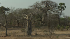 Landscape of Savanna Baboons in Niassa Reserve, Mozambique. Stock Footage