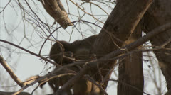 Infant Savanna Baboons playing in tree in Niassa Reserve, Mozambique. Stock Footage