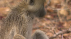 Young Savanna Baboon foraging / eating in Niassa Reserve, Mozambique. Stock Footage