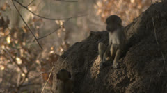 Infant Savanna Baboons playing in Niassa Reserve, Mozambique. Stock Footage