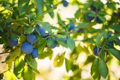 Prune tree Stock Photos